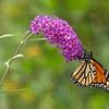 Monarch on butterfly bush at Woody Hill B&B