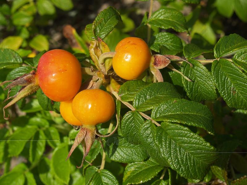 Rosehips on a rugosa rose shrub - Napatree Pt., RI