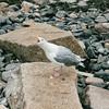 Gull - Newport, RI  9-9-99