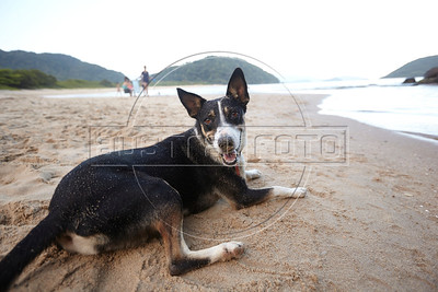 A happy dog on the beach in Prumirmim, in the municipality of Ubatuba, São Paulo state, Brazil, just off the Rio-Santos highway. The 500 plus kilometer road runs along the Atlantic Ocean, passing through, near and around dozens of beaches, waterfalls, mountains and forest. It is arguably of of Brazil's most beautiful roads. (Australfoto/Douglas Engle)