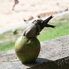 A Thirsty Bird Drinking from a Coco<br /> <br /> Capacabana Beach, Rio