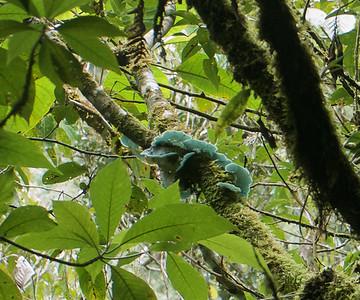 Blue-green Fungus