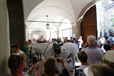 One of the Lipizzan Stallions
