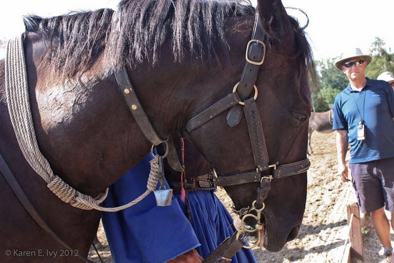 Hungarian horses up close