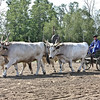 Team of oxen, look at those horns