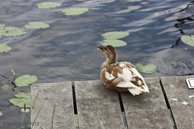 Duck by the canal