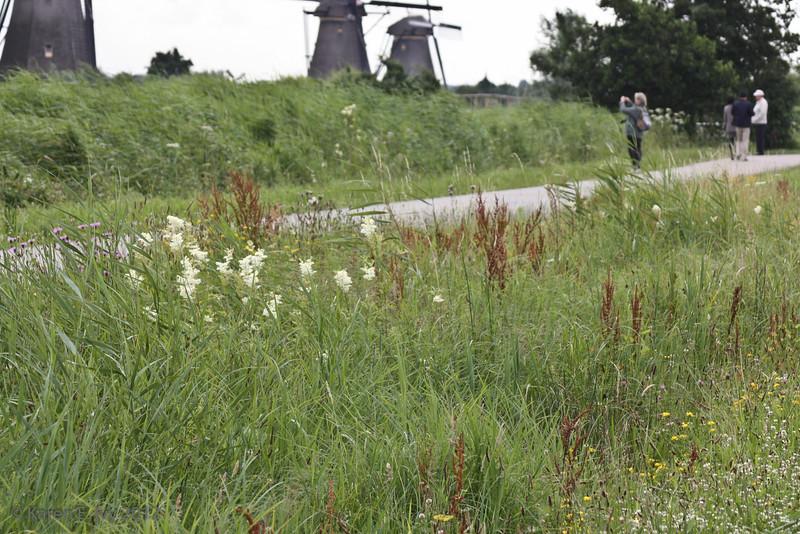 Wildflowers at Kinderdijk