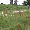 Wildflowers at Kinderdijk