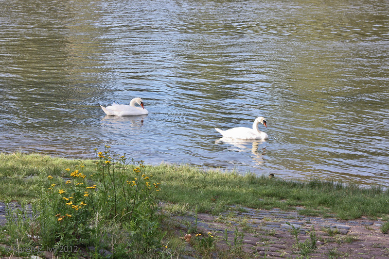 Swans on the Main