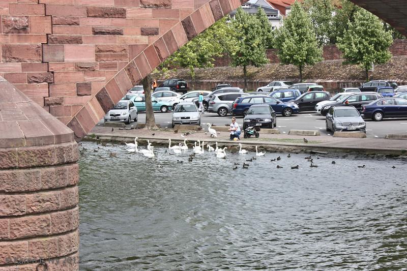 Swans beneath the bridge, Miltenberg