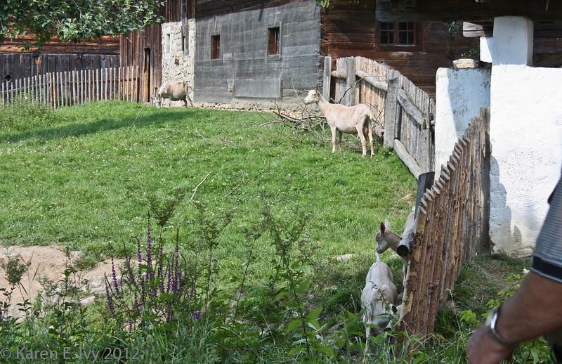 Village goats.