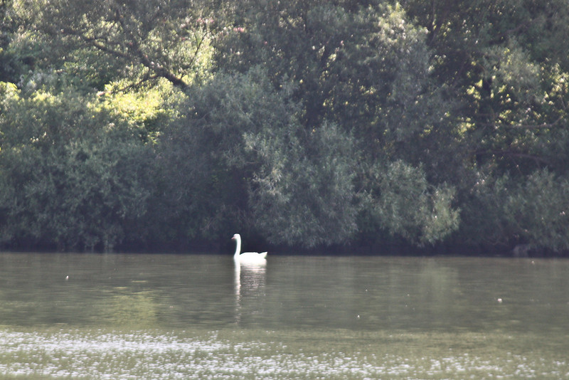 Swan on the Danube approaching Passau - it's hard to take photos of objects next to the boat because the boat is MOVING