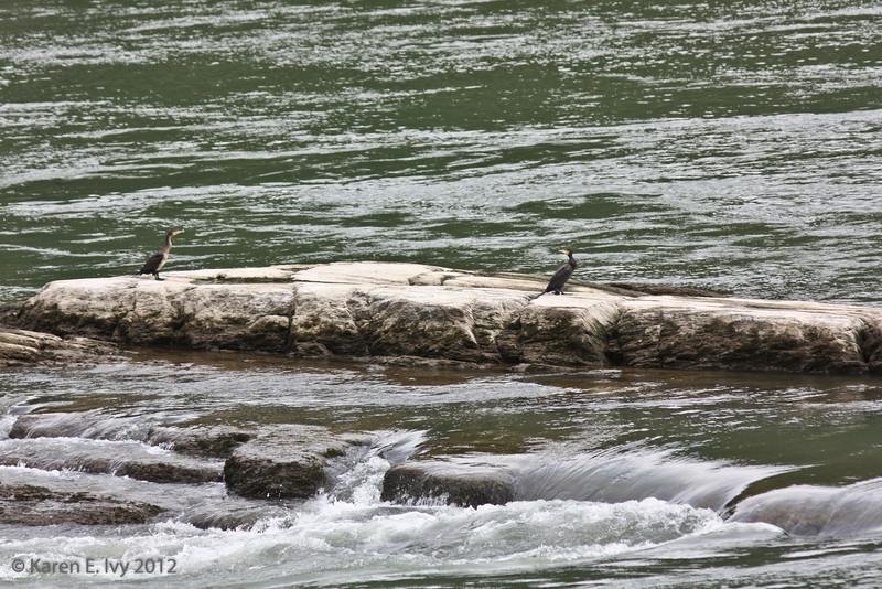 Cormorants, Rhine