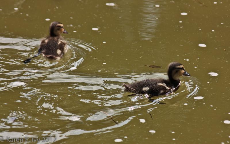Ducklings in the Neptune Fountain