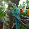 Parrots at Xel-Ha.