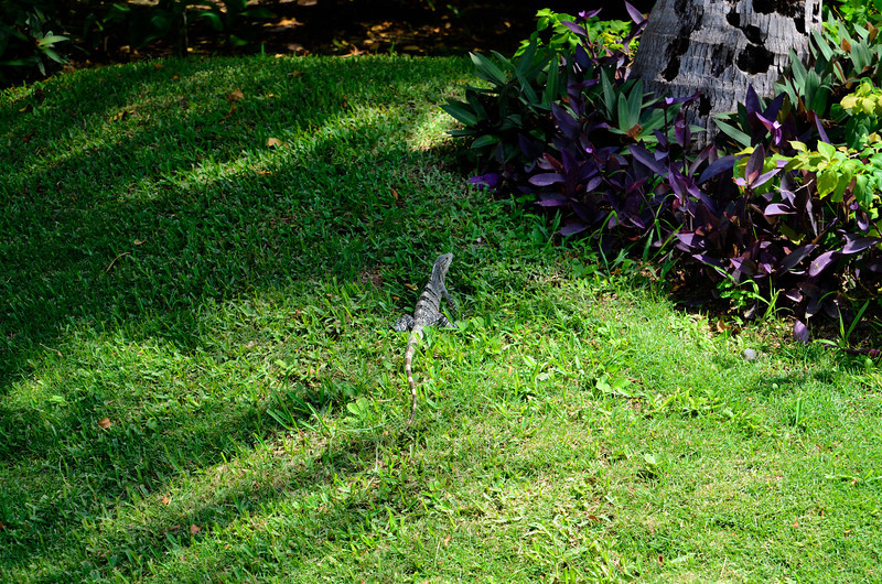 Just one of the many, many iguanas of ALL sizes...Barcelo Maya Caribe - Puerto Aventuras, Mexico