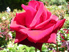 <h2>Black Magic</h2> This rose was the darkest red I have ever seen in nature, and it has a velvety/reflective look to it.