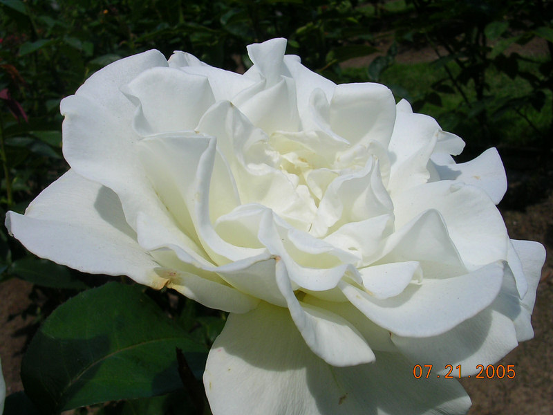 <h2>JFK</h2> The John F. Kennedy was one of the most beatiful white roses I have seen.