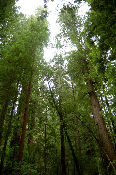 In the Tall Trees Grove, Redwood National Park, CA.