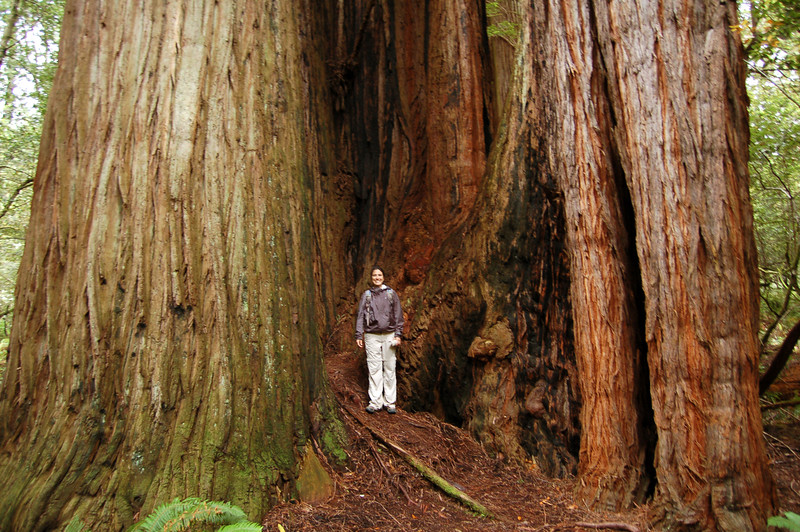 Michelle getting lost in a Redwood, Redwood National Park, CA.