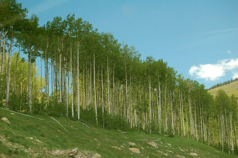Aspens on the way from Ridgway, CO, to Moab, UT.