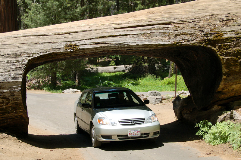 Driving through a downed Sequoia, Sequoia National Park, California.