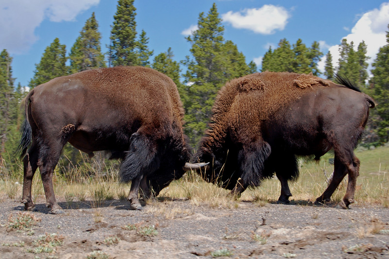Dueling Buffalo, Yellowstone National Park, WY.