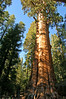 The General Sherman tree, (largest in the world by volume), Sequoia National Park, CA.