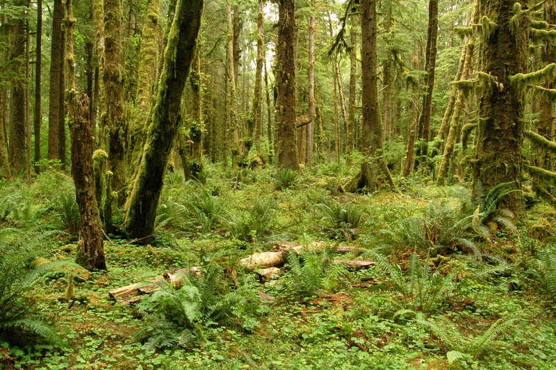In the Hoh Rain Forest, Olympic National Park, WA.