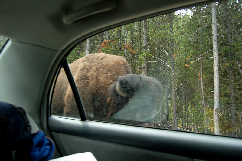 Passing a Buffalo on the road through Yellowstone National Park.