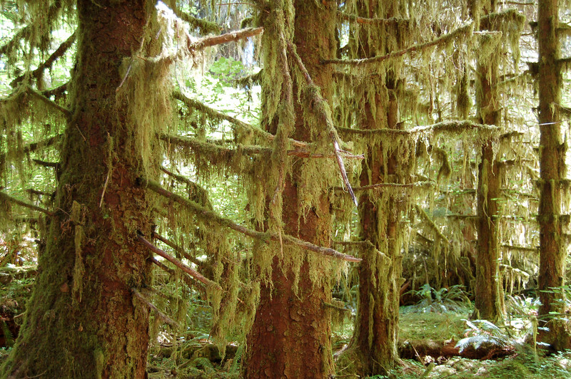 Moss hanging from trees in the Hoh Rainforest, Olympic National Park, WA.