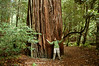 That's a big tree!  Redwood National Park, CA.