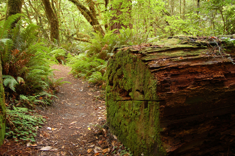Moss on a fallen Redwood, Redwood National Park, CA.