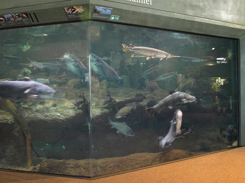 Aquarium is home to enormouse sturgeon and catfish, National Mississippi River Museum & Aquarium, Dubuque, Iowa, July 2, 2008.