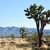 Joshua Tree and Coyote