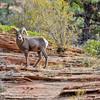 Zion Bighorn Ram