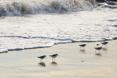 Sandpipers scurry from the waves.