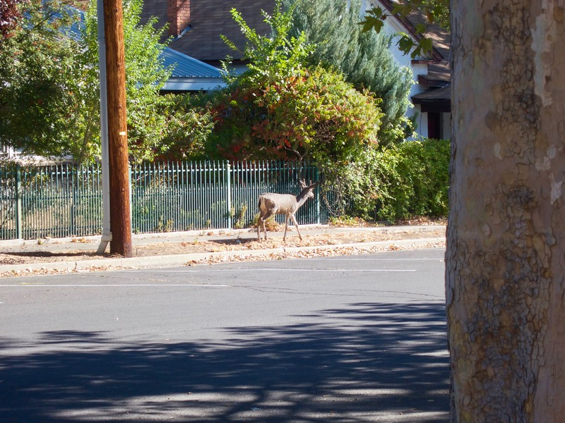Deer in Susanville 1