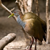 Giant Wood Rail from South America