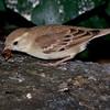 Female Sudan Golden Sparrow