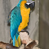 Blue and Gold Macaw from South America