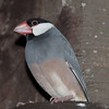 Java Sparrow from South East Asia