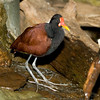 Wattled Jacana from South America