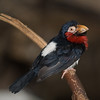 Bearded Barbet from Africa