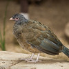Chaco Chachalaca from South America