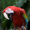 Green-and-red Macaw from Soth America