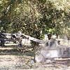 Shaking a Pecan Tree in Georgia