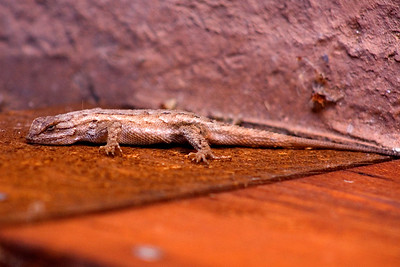 We saw this lizard at the visitors' center.