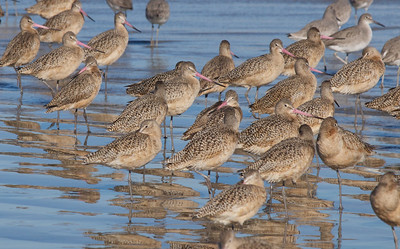 Marbled Godwits  Copyright 2012 Neil Stahl