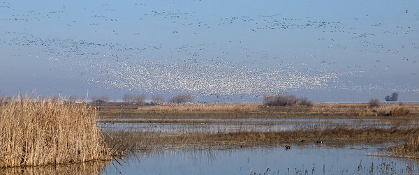 Merced NWR Snow Geese, Geese and/or Sandhills  Copyright 2012 Neil Stahl